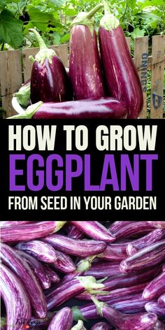Growing Vegetables Vegetable Gardening for Beginners: Learn how to grow eggplant from seed up through harvest. - Eggplant can be a fickle plant to grow. Read all about growing eggplant and how to get the best eggplant harvest from your garden this year! Vegetable Garden Planner, Vegetable Garden For Beginners, Gardening For Beginners, Vegetable Gardening, Kitchen Gardening, Apartment Gardening, Veggie Gardens, Flower Gardening, Growing Tomatoes From Seed