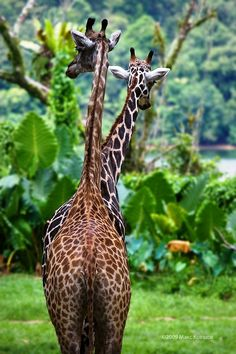 Giraffes by Макс Ковшов Long of neck and tall of stature. How grand, how grand.