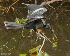 Trip to the Everglades, Anhinga Trail