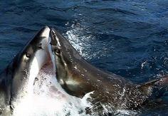 Great white sharks in battle off the Neptune Islands, South Australia Photo credit: Adam Malski/Barcroft Media