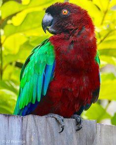 """Instagram'da @jurrienjan: """"Met dank aan Jenneke en Matthew #pompadourparkiet #maroonshiningparrot #prosopeiatabuensis #tonga #vogel #vogelfotografie #bird…"""" Fiji Islands, Tonga, Pompadour, Parrot, Bird, Animals, Instagram, Parrot Bird, Animales"""