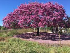 Reposting @walberfeijo: (Off-topic) Ipê Roxo - Impossível não parar para fotografar a exuberância da natureza em pleno sertão do Cariri.  Às margens da BR-116 no município de Milagres-CE. #natureza #nature #ipe #cariri #milagres #ceara #brasil #landscapes #paisagens #fotografia