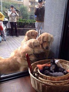 Dogs staring astonishingly at newly born kittens!..