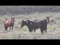 In Loving Memory… | Wild Horse Education  #SheldonMustangs