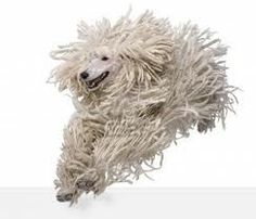 White Poodle corded