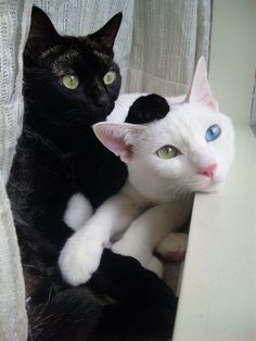 ~yin & yang felines~  1 blue eye and 1 green looks so beautiful with her snow white coat and her little pink nose