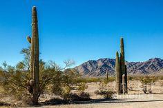 Saguaro Cactus In The Sonoran Desert: See more images at http://robert-bales.artistwebsites.com/