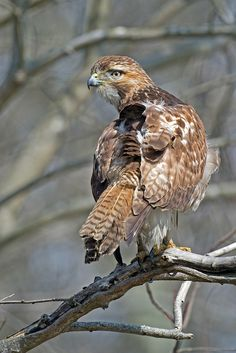 Red-tailed Hawk by Brian Kushner**