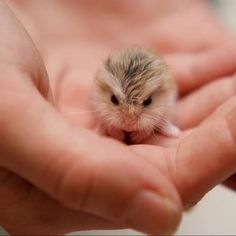 Russian dwarf hamster. My baby used to be this tiny