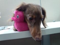 Must get doxie!
