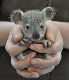 adorable baby animals - Google Search  baby koala is so cute