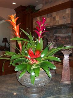 """Bromeliads: Give the bromeliad plant adequate light. Bright, filtered or indirect sunlight is best. Different types of bromeliads may have different light requirements. Broad-leafed varieties may """"burn"""" when placed in direct sunlight. A window with southern exposure is usually ideal all year. Air Plants, Indoor Plants, Indoor Gardening, Interior Plants, Plant Design, Container Plants, Tropical Plants, Horticulture, Houseplants"""