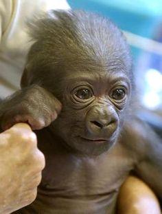 Baby gorilla...so stinkin cute!