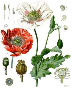 poppy | top] Introduction to Opium Poppy (Papaver Somniferum)