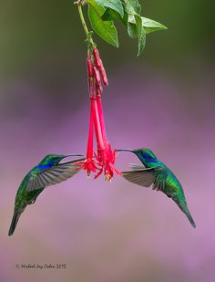 Matched set! by Michael Cohen • Here is a matched set of Green Violetear Hummingbirds. These were great fun and hard work to shoot. Taken in beautiful Costa Rica.