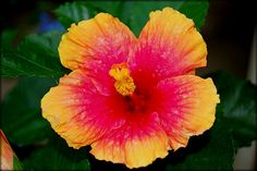 hibiscus with hot pink gold yellow