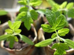 How To Start Your Own Container Herb Garden - FarmFoodFamily.Com How To Start Your Own Container Herb Garden - FarmFoodFamily. Garden Soil, Garden Care, Garden Seeds, Vegetable Gardening, Organic Gardening, Gardening Tips, Growing Fruit Trees, Growing Seeds, Growing Tomatoes In Containers