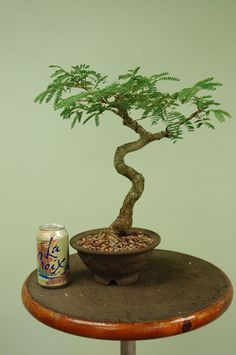 Bunjin Mimosa Bonsai tree in Japanese Dragon pot.