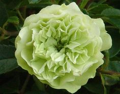Green Ice - Ludwigs Roses | Small, tight, double blooms are borne in clusters. The white or slightly pink buds open with an unusual shade of soft green on the petals. Vigorous, prolific growth. Healthy, glossy foliage. Semi-prostrate growing habit. Can also be used in hanging baskets.