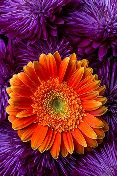 Purple and Orange - Gerbera Daisy and Mums Print ~ By Garry Gay Purple Mums, Orange And Purple, Orange Flowers, Orange Color, Color Combos, Color Schemes, Daisy, Gerber Daisies, World Of Color