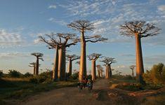 Madagaskar Affenbrotbäume im Madagaskar Reiseführer http://www.abenteurer.net/2261-madagaskar-reisefuehrer/