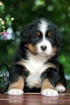 <3 Berner puppy <3