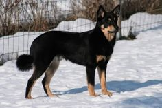 Lapponian Herder dog photo | Herder dog in the snow photo and wallpaper. Beautiful Lapponian Herder ...