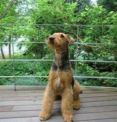 AIREDALE TERRIER  Our Airedale has a white blaze like this on her chest. Jh
