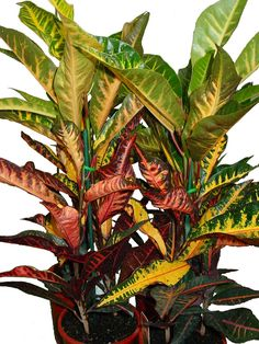 Colorful Plants Leaf Shapes Plant Care Growing Houseplants Live Life Ferns Gardens Ornamental Houseplant 411