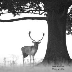 Black and white photograph of a male deer under a tree on a misty morning, by Jane Mucklow. Knole Park, Sevenoaks, Kent Available as a greetings card and print. Male Deer, Business Headshots, Flower Prints, Moose Art, Black And White, Landscape, Park, Photography, Animals