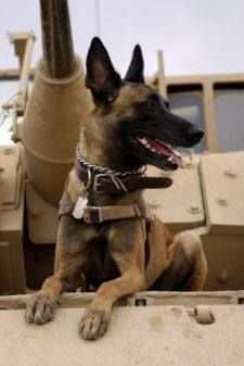 MEET CAIRO, the Navy SEAL dog who helped carry out the mission that took down al Qaeda leader Osama bin Laden. Read his story: http://northernstar-online.com/blog/the-dog-that-took-osama-bin-laden-down/