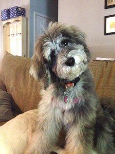 aussiedoodle,australian shepherd dog, miniature aussie