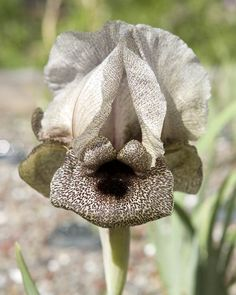Iris damascena