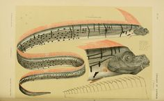 Common name: Oarfish, Giant OarfishModern binomial name: Regalecus glesneFrom McCoy, Prodromus of the Zoology of Victoria. Mysterious Sea Creatures, Banks, Oarfish, Scientific Drawing, Alien Encounters, Weird Fish, Sea Serpent, Antique Illustration, Earth