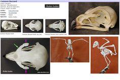 buteo buteo skeletons and skulls