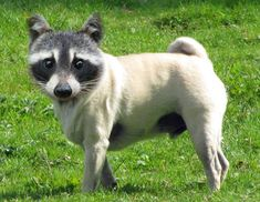 Raccoon Pug Face Swaps, Raccoons, Dog Friends, Hot Dogs, Pugs, Husky, Animals, Image, Animales