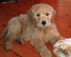 Alf the Goldendoodle-CUTE!
