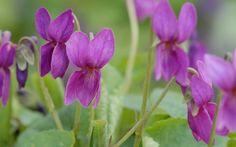 Viola odorata 'Frühlingsglück'