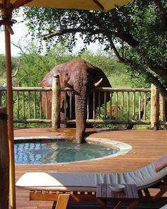 This is a photo is from several years ago. When the lodge realized why their jacuzzi was empty, they have provided her with an alternative source of water. But sometimes it's hard to get an elephant to change her ways. Most likely she was drinking from the jacuzzi because it was a much cleaner source of water than she had access to naturally.