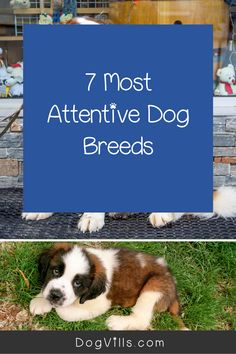 Are you wondering which the most attentive dog breeds are?    You might if you're looking for a dog that's loyal, friendly, and easy to train. Therapy Dog Training, Therapy Dogs, Emotional Support Animal, St Bernard Dogs, Dog Varieties, Most Popular Dog Breeds, Herding Dogs, Fluffy Dogs, Small Dog Breeds