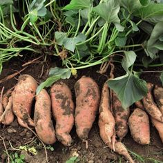 Vegetable Gardening 20 Fruits and Vegetables You Can Grow in Pots - Lettuce, PeppersLiving Rich With Coupons® - How to grow delicious sweet potatoes. Homestead Gardens, Farm Gardens, Veg Garden, Edible Garden, Vegetable Gardening, Potato Gardening, Veggie Gardens, Garden Soil, Growing Veggies
