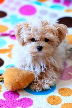 Maltipoo Maltese/P Maltipoo Maltese/Poodle Mix Maltese Poodle Mix, Poodle Mix Dogs, Maltese Puppies, Little Puppies, Cute Puppies, Dogs And Puppies, Animals And Pets, Baby Animals, Cute Animals