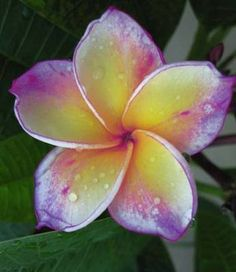 Yellow Chan Plumeria-Just found and fell in love with the rainbow of colors.  I guess I will have to order!