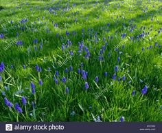 Image result for planting both muscari and lawn Planting, Lawn, Herbs, Spring, Image, Plants, Herb, Grass, Medicinal Plants