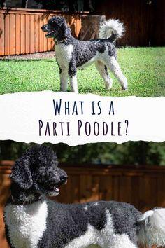 parti poodle Lazy Dog Breeds, Designer Dogs Breeds, Smartest Dog Breeds, Hypoallergenic Dog Breed, Poodle Cuts, Beautiful Dog Breeds, Dogs And Kids, Labradoodle, Working Dogs