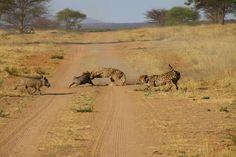 Cheetahs versus warthogs, Okonjima game reserve, Namibia