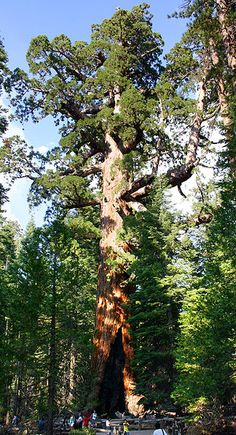 """Giant sequoias """"Grizzly Giant""""  Yosemite, are the world's largest trees by volume. They grow to an average height of 50–85 m (160–279 ft) and 6–8 m (20–26 ft) in diameter. Record trees have been measured to be 94.8 m (311 ft) in height and over 17 m (56 ft) in diameter.[1] The oldest known giant sequoia based on ring count is 3,500 years old. Sequoia bark is fibrous, furrowed, and may be 90 cm (3.0 ft) thick at the base of the columnar trunk. It provides significant fire protection for the…"""