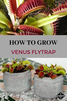 garden care tips A common carnivorous plant to grow is a Venus flytrap Venus flytraps require special care Learn how to water and care for Venus flytraps with these garde. Garden Care, Bog Garden, Olive Garden, Garden Pests, Vegetable Garden, Herb Garden, Bog Plants, Indoor Plants, House Plants