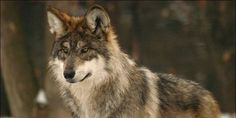 plz sign + share save the mexican wolf
