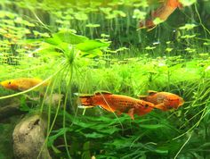 Aphyosemion Orange Australes killifish